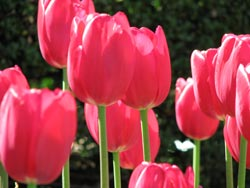 Divide early bloomers like tulips to double your spring display