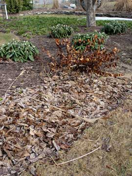 Raking matted leaves