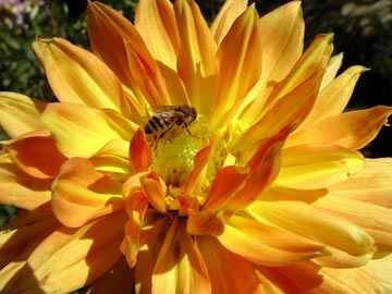 A bee collects pollen from this blooming dahlia.