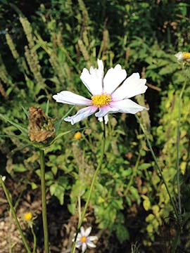 Cosmos is just one of the pretty flowers that you can sow in fall or early winter.