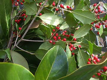 The berries of holly and other plants are poisonous.