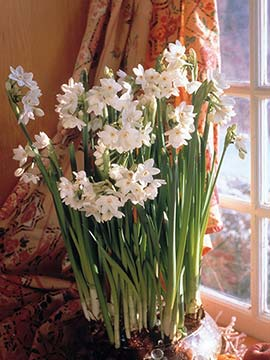 These paper whites are growing in a glass bowl of marbles
