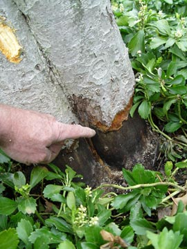 Vole damage to a tree trunk