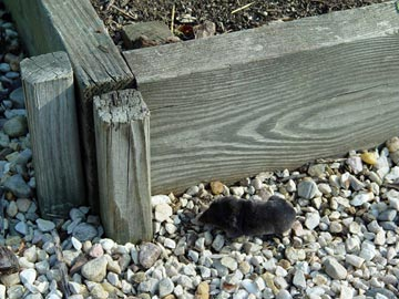 Vole scurrying