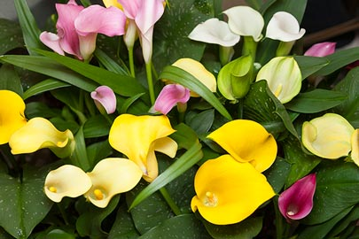 Multi-colored calla lilies