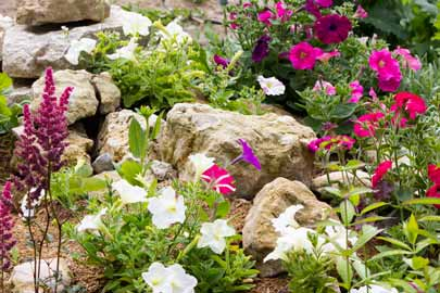 Petunias in a rock garden
