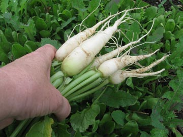 Direct sow root crops