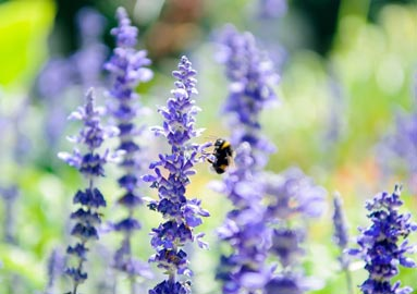 Salvia flowers attract bees, butterflies, and goldfinches