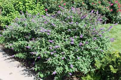 Lo and Behold® 'Blue Chip.' Butterfly Bush