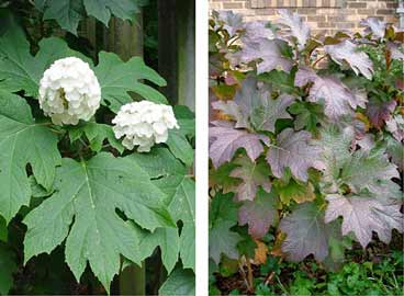 Oakleaf hydrangeas have large leaves which turn burgunday in the fall.