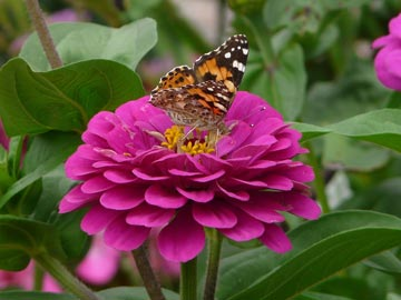 Zinnias attract bees and butterflies