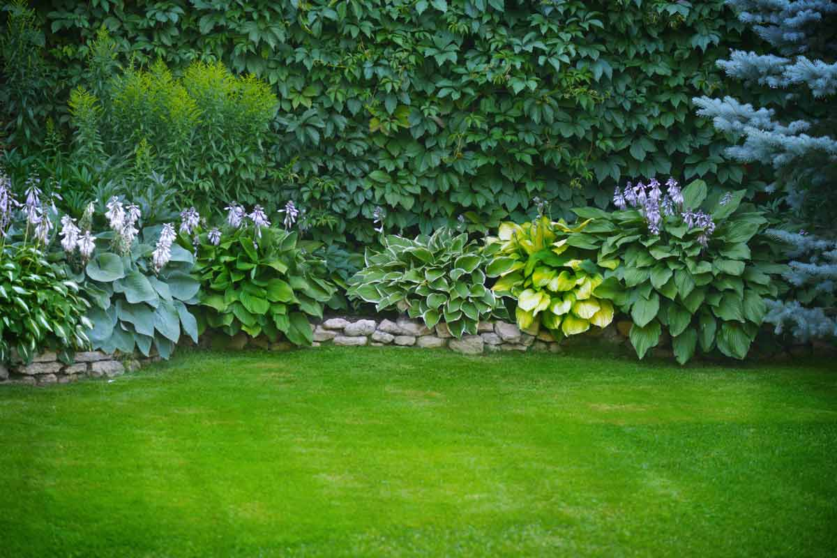 Lawn with hostas.