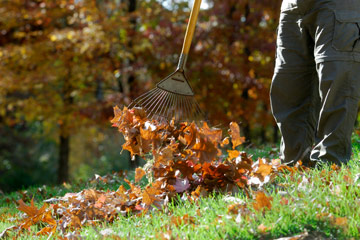 Raking up fallen leaves from lawn
