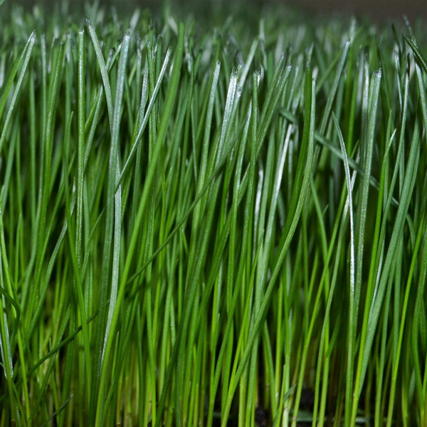 Turf Type Tall Fescue lawn grass